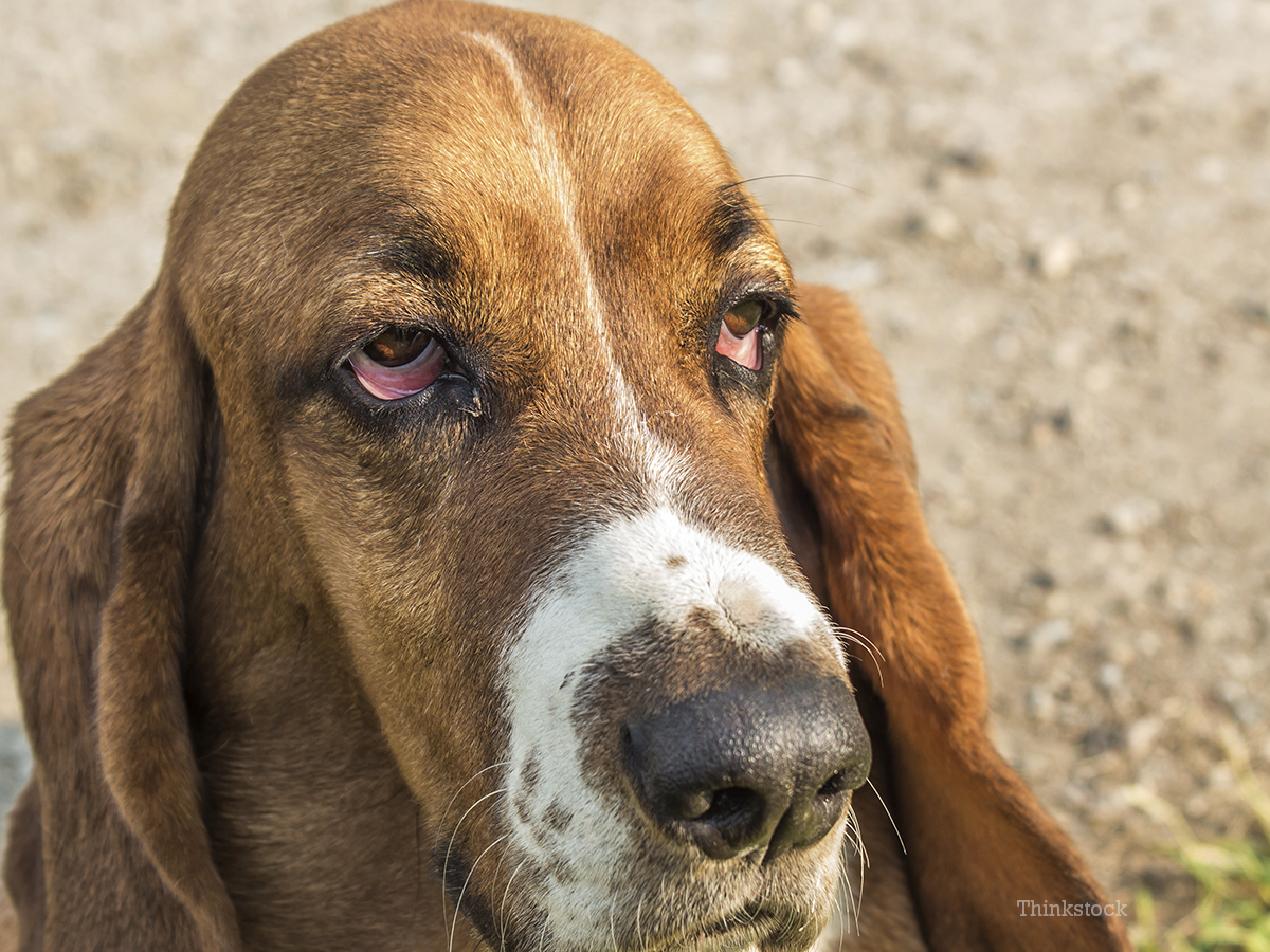 Sudden Droopy Eyes Dog